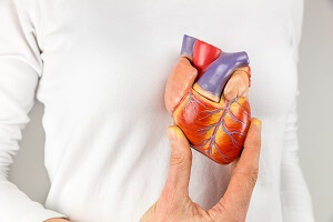 person holding model heart